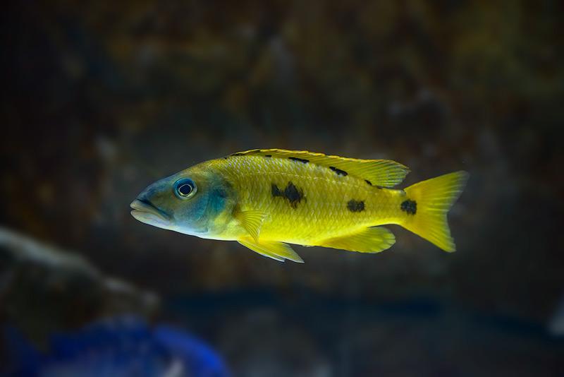 Exochochromis-anagenys-yellow-copy.jpg